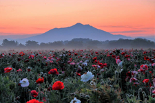 関東の3月・4月・5月におすすめの絶景お花畑