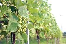 よく手入れされたワイン畑を見学♡撮影もOK!