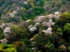 橡平サクラ樹林