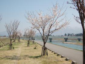 魚野川桜づつみ