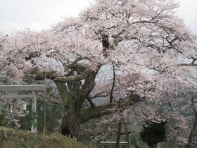 愛宕様の小彼岸桜