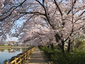 長岡天満宮八条ヶ池の桜