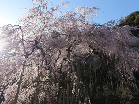 田ノ頭郷のしだれ桜(波佐見町)
