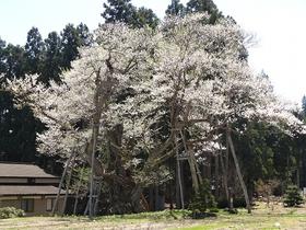 草岡の大明神桜
