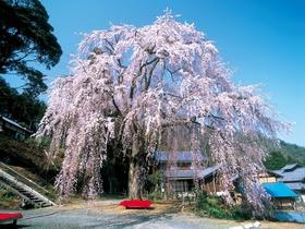妙祐寺の「しだれ桜」