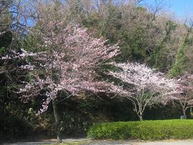北潟湖畔公園(ソメイヨシノ)