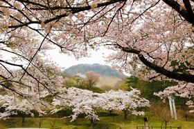 Senjosan Manbon-Zakura Park