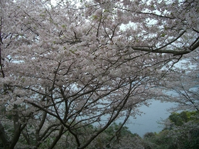 湯之兒櫻花道(水俣市櫻花道)
