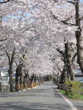 唐丹町本郷桜並木