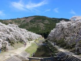 鮎河千本桜(うぐい川)