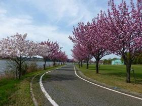 北潟湖畔公園(ヤエザクラ)