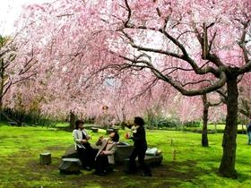 荒井城址公園(しだれ桜)