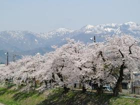 勝山弁天桜(九頭竜河畔)