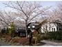 母屋の前の満開の桜の木々たち