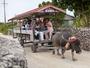 *【水牛車観光】三線を弾きながら、島内の美しい町並みをの-んびり案内してくれます♪