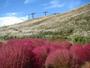 箱館山コキアパークススキの群生と紅葉のコキア