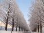 美しすぎる冬のメタセコイア並木