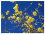 車で5分ロープウエイ頂上蝋梅園甘くほのかな香る花