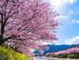 【河津桜】「is Beautiful 伊豆」でもお馴染み。色が濃く大きな花が特徴で河津川を彩る光景は圧巻