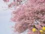 青野川沿いのみなみの桜