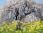 樹齢500年黒部のエドヒガン桜