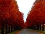 「メタセコイア並木」の紅葉
