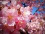 *【河津桜】春らんまん!河津桜 お花見会席コースをご用意いたします。