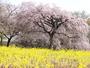 サクラと菜の花のコンストラストが春を感じさせてくれます。(大室山/さくらの里)