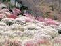 湯河原梅林 風光明媚な幕山の山すそに4千本の紅白梅が咲きほこる様は圧巻。2-3月中旬が見ごろです。